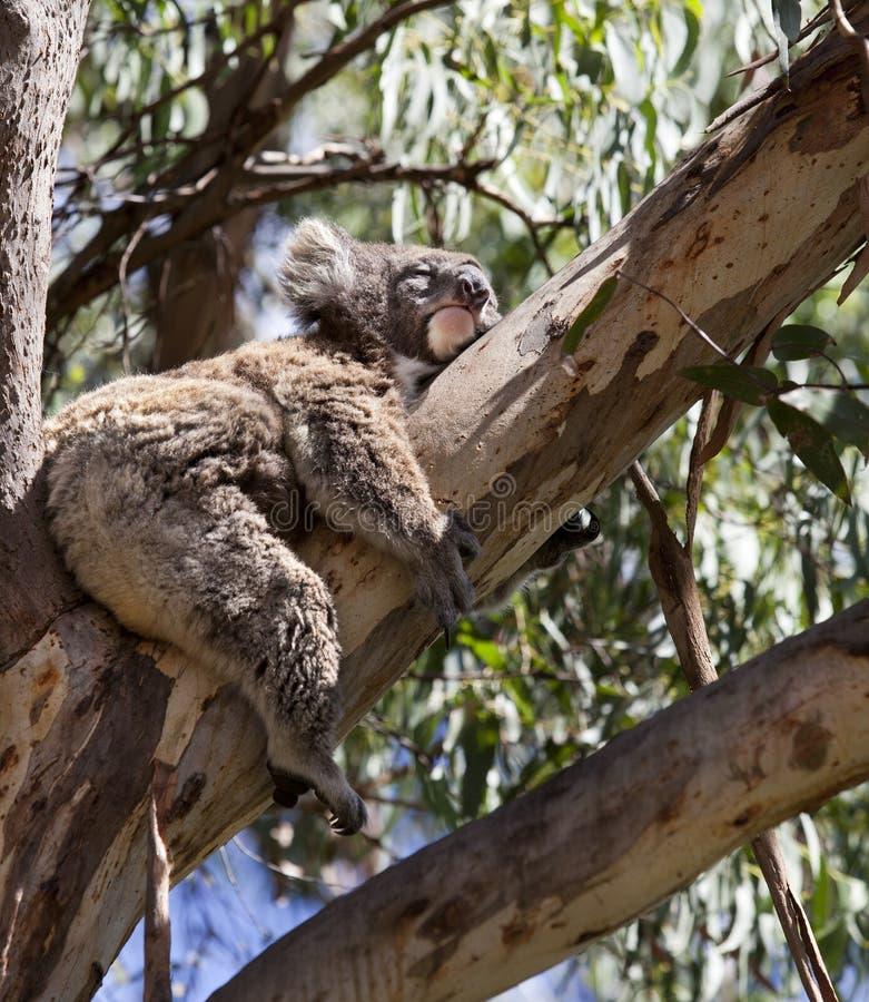 Koala på treen arkivfoton
