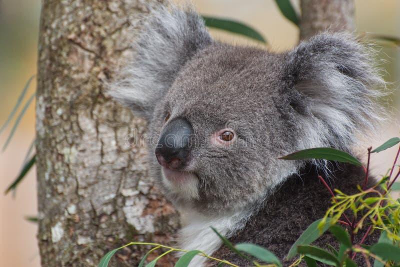 Koala patrzeje kamerę w drzewie fotografia royalty free