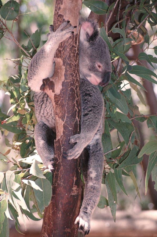 Koala (Phasclorctos Cinereus) Royalty Free Stock Photos