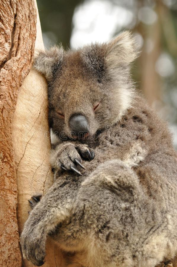 The koala Phascolarctos cinereus royalty free stock photography