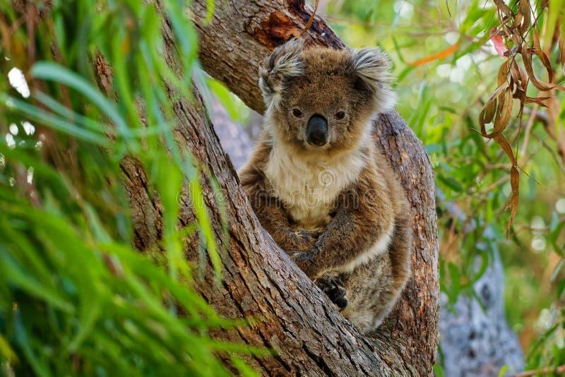 Koala - Phascolarctos cinereus auf dem Baum in Australien lizenzfreie stockfotos