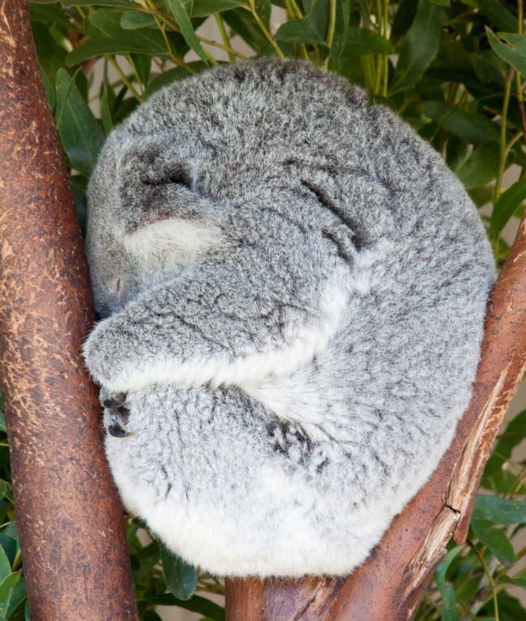 Koala curled up sleeping in tree stock image