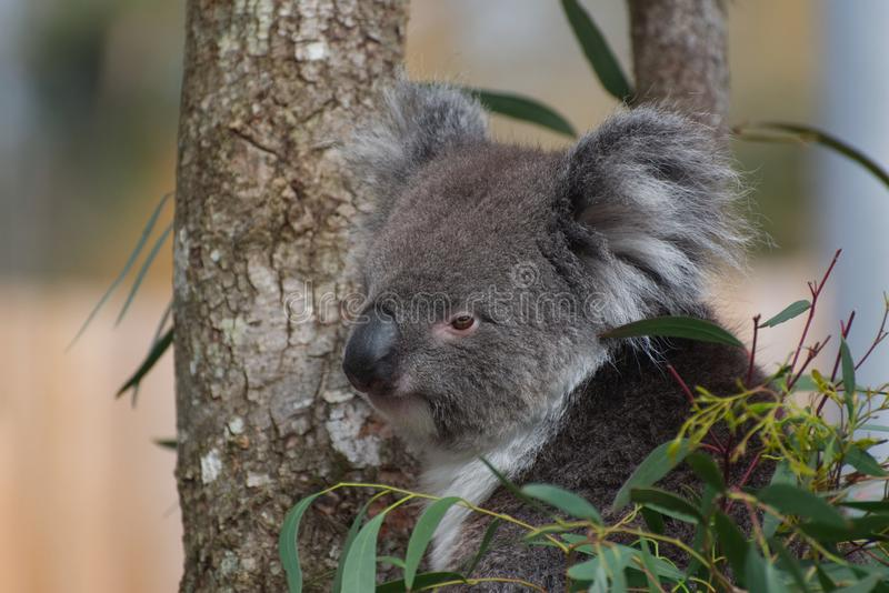 Koala Phascolarctos cinereus. A cute Koala sitting in a Eucalyptus tree. One of Australia`s unique and very cute marsupial native mammals stock image