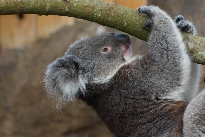 Koala Phascolarctos cinereus / portrait. Climbing Koala bear. One of Australia`s unique and very cute marsupial native mammals royalty free stock photo