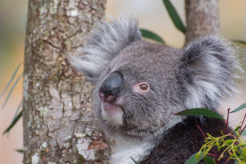 Koala Phascolarctos cinereus / portrait. Close up Koala bear. One of Australia`s unique and very cute marsupial native mammals royalty free stock photo