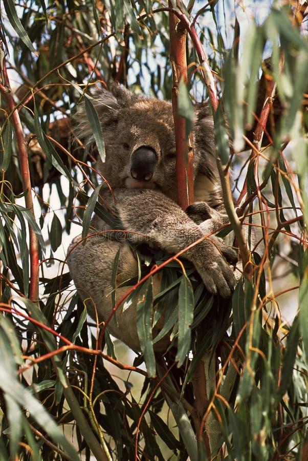 koala Koala Phascolarctoscinereus arkivbild
