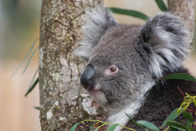 Koala Portrait. A Koala in a Eucalyptus / Gum Tree - close up photograph of head and face in semi profile. a very cute image stock photography