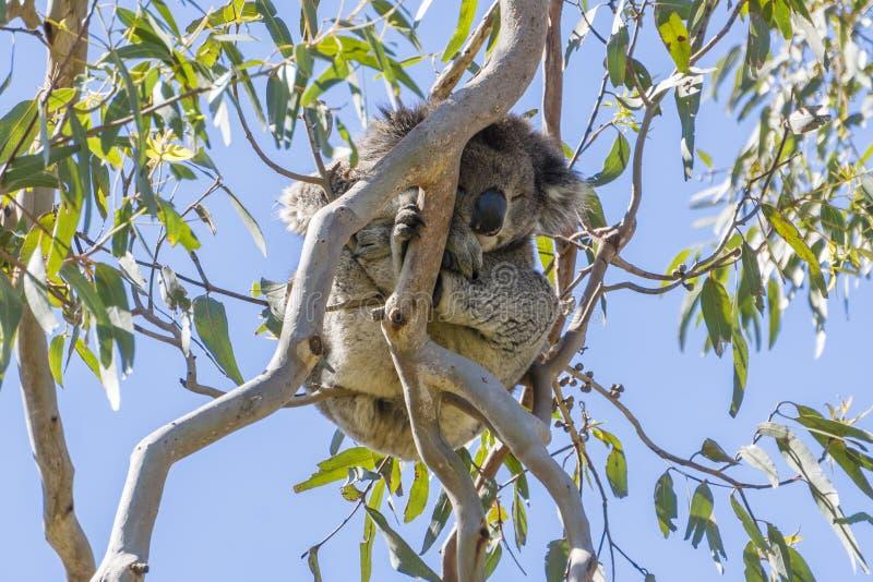 Koala que dorme em uma árvore fotografia de stock royalty free