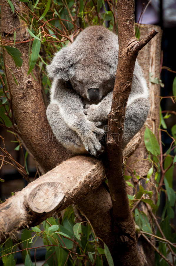 Koala que dorme em uma árvore imagem de stock royalty free