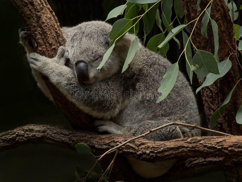 Koala que duerme entre las hojas de la goma fotos de archivo
