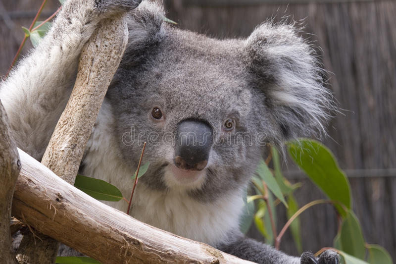 Koala regardant des branchements images libres de droits