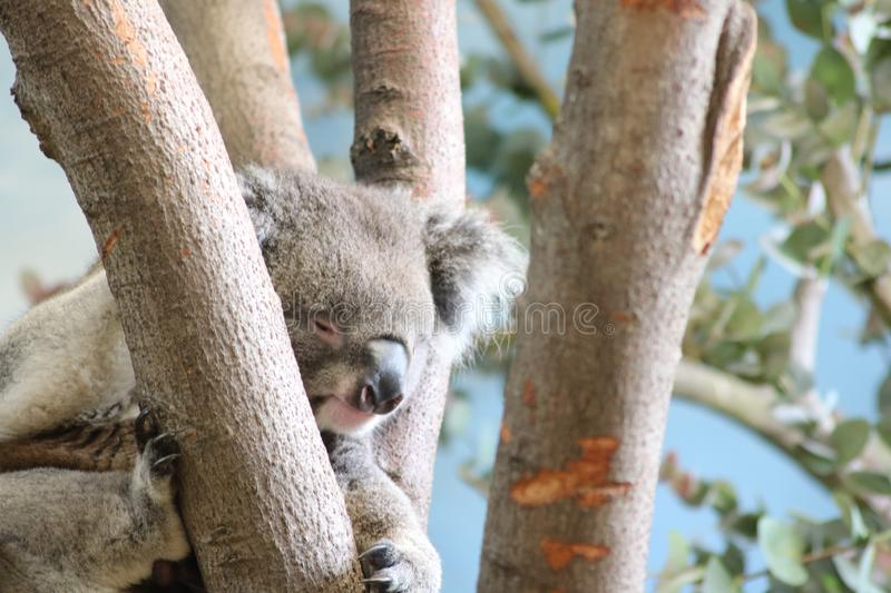 Koala at rest in tree top home royalty free stock photo