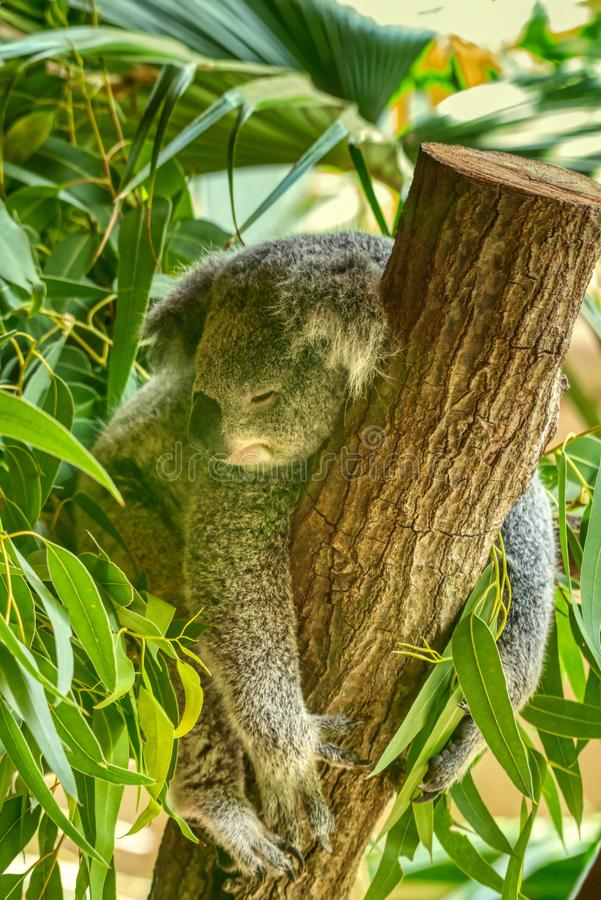A koala resting in a tree. stock photography