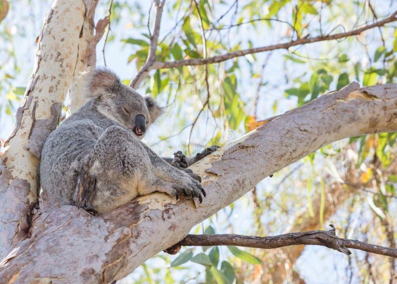 Koala se reposant dans l'arbre photographie stock libre de droits