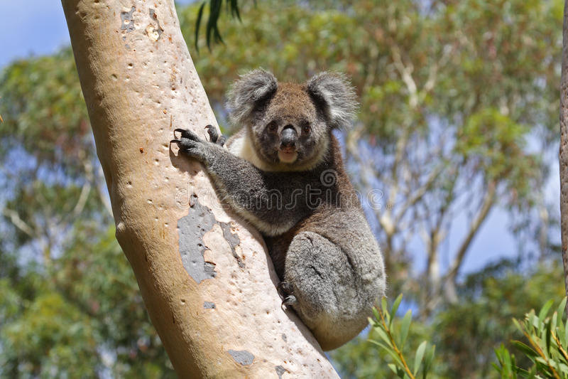Koala selvagem, console do canguru, Austrália imagem de stock