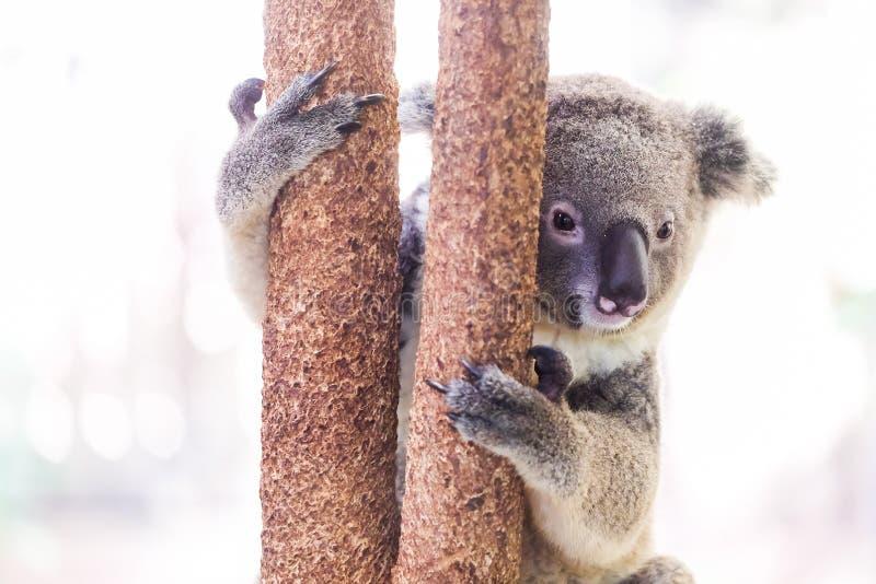 Koala selvagem que escala uma árvore foto de stock