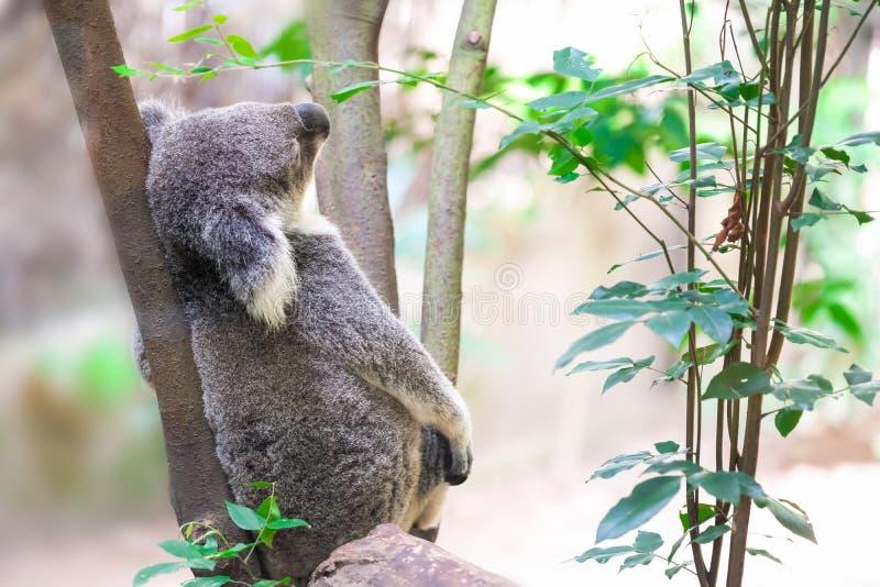 Koala selvagem que escala uma árvore imagens de stock royalty free