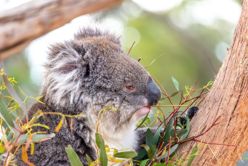 Koala selvaggia, gamme di Macedon, Victoria, Australia, agosto 2019 fotografia stock