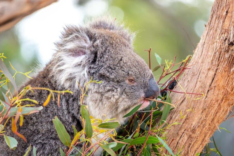 Koala selvaggia, gamme di Macedon, Victoria, Australia, agosto 2019 immagine stock