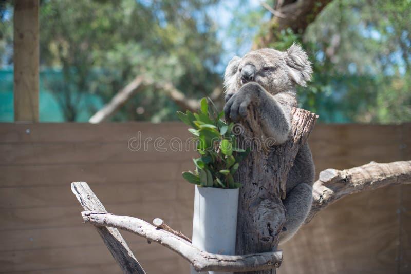 Koala semblant grincheux images libres de droits