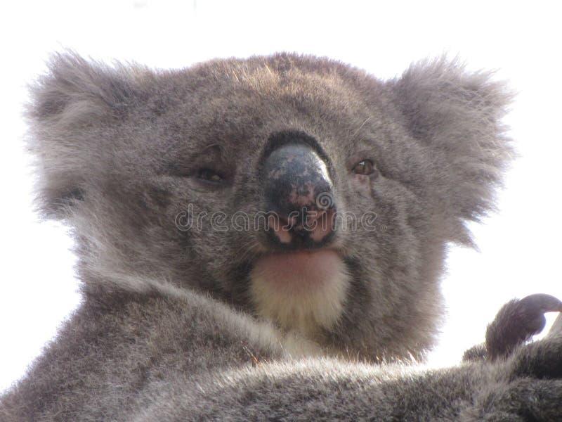 Koala semblant mignon As image libre de droits