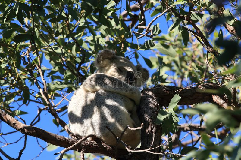 A Koala sits in a tree on Magnetic Island, Australia stock images