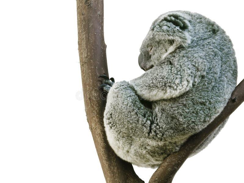 Download Koala Sleeping In Fetal Position Isolated On White Stock Photo - Image: 8212716