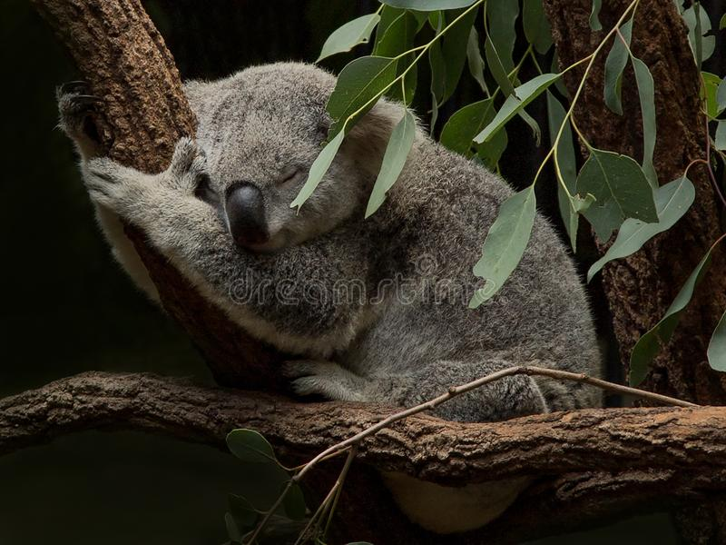 Koala sleeping among Gum Leaves stock photos