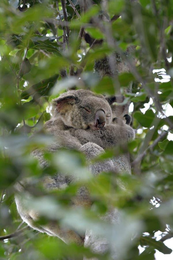 Koala sleeping on a gum tree royalty free stock photos