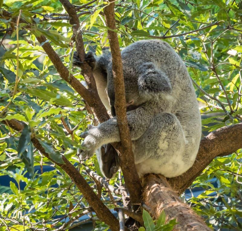 Koala sleeping high up in a eucalyptus tree stock photos