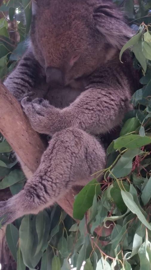 Koala soñoliento fotografía de archivo libre de regalías