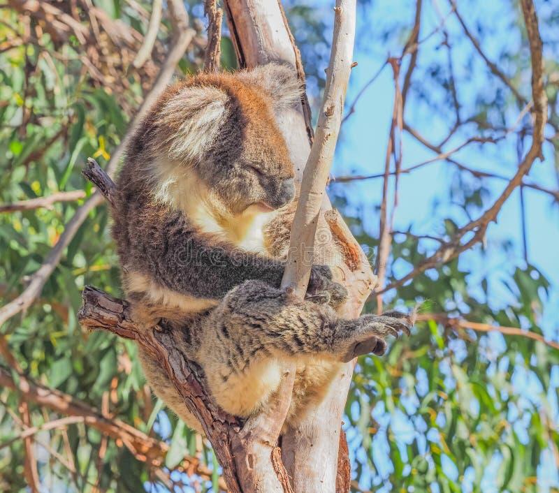 Koala soñoliento foto de archivo libre de regalías