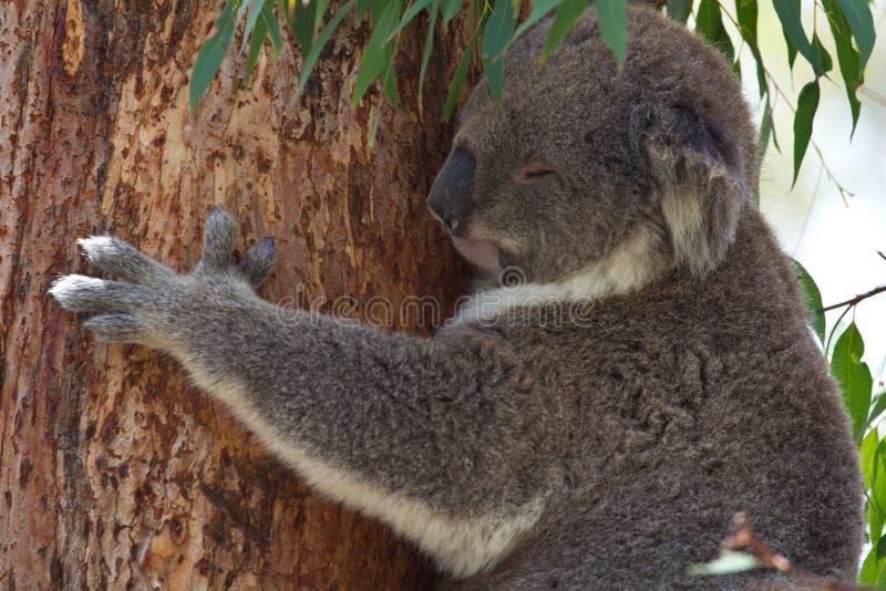 Koala som hänger på eukalyptusträd, medan sova royaltyfria foton