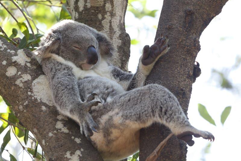 Koala som kopplar av i ett träd, Australien royaltyfri bild