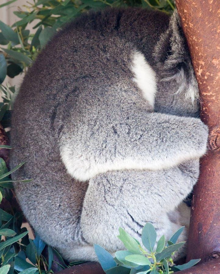 Koala som krullas upp att sova i ett träd royaltyfria foton
