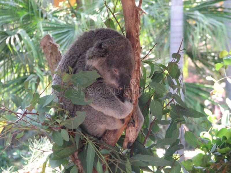 Koala som krullas upp att sova i ett träd royaltyfria bilder