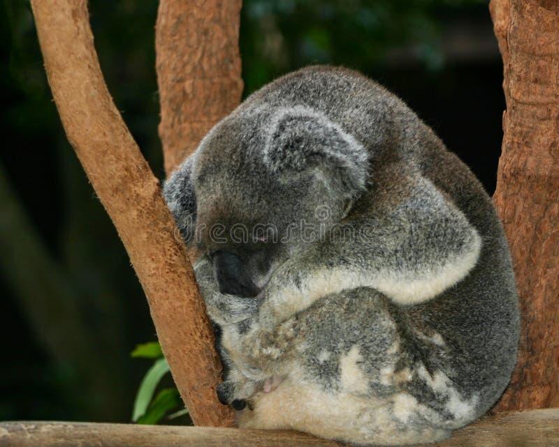 Koala som krullas upp sovande på en avsats arkivbild