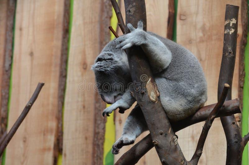 Koala som sitter upp i en trädfilial royaltyfri fotografi