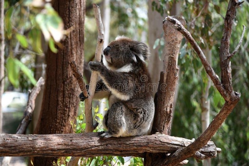 Koala sur l'arbre photos libres de droits