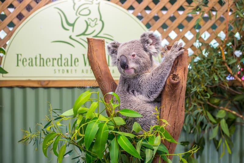 Koala sveglia nel parco della fauna selvatica di Featherdale, Australia fotografia stock