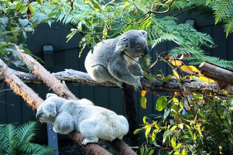 Koala in Tazonga-Zoo Sydney lizenzfreies stockfoto