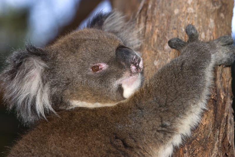 Koala thuis stock fotografie