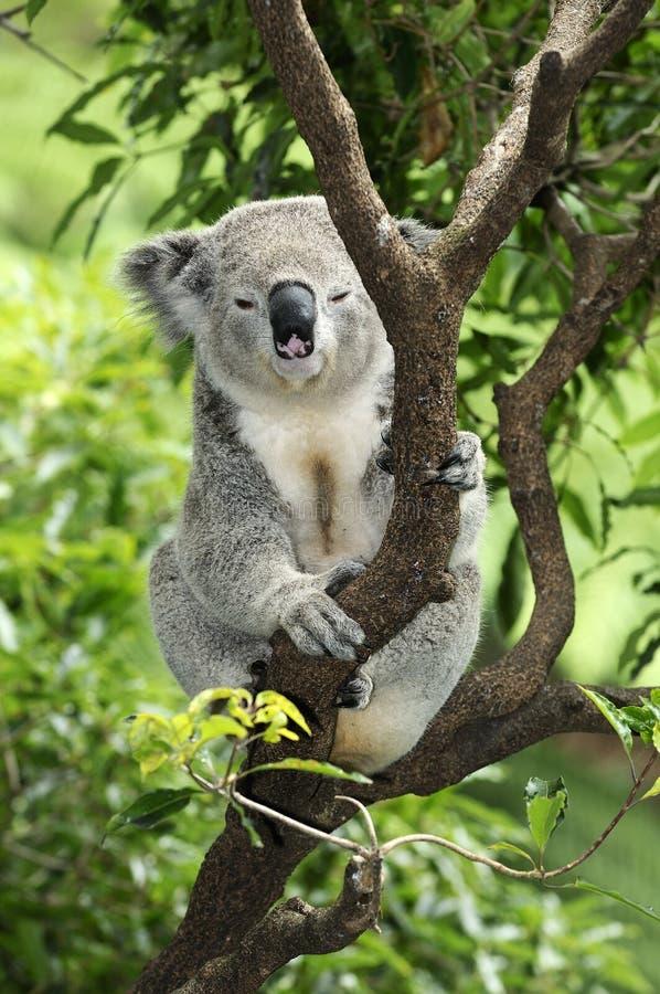 Koala in tree. Details of a Koala sitting in a tree. Species: Phascolarctos cinereus royalty free stock photo
