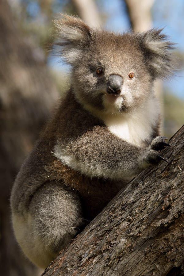 Download Koala on tree stock photo. Image of nature, outdoors - 26570824