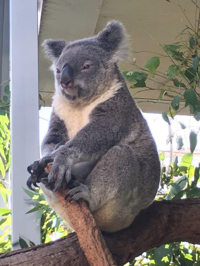 Koala in tree royalty free stock image