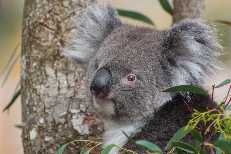Koala in a tree looking at the camera. A Koala in a Eucalyptus / Gum Tree - close up photograph of head and face in semi profile. a very cute image royalty free stock photography