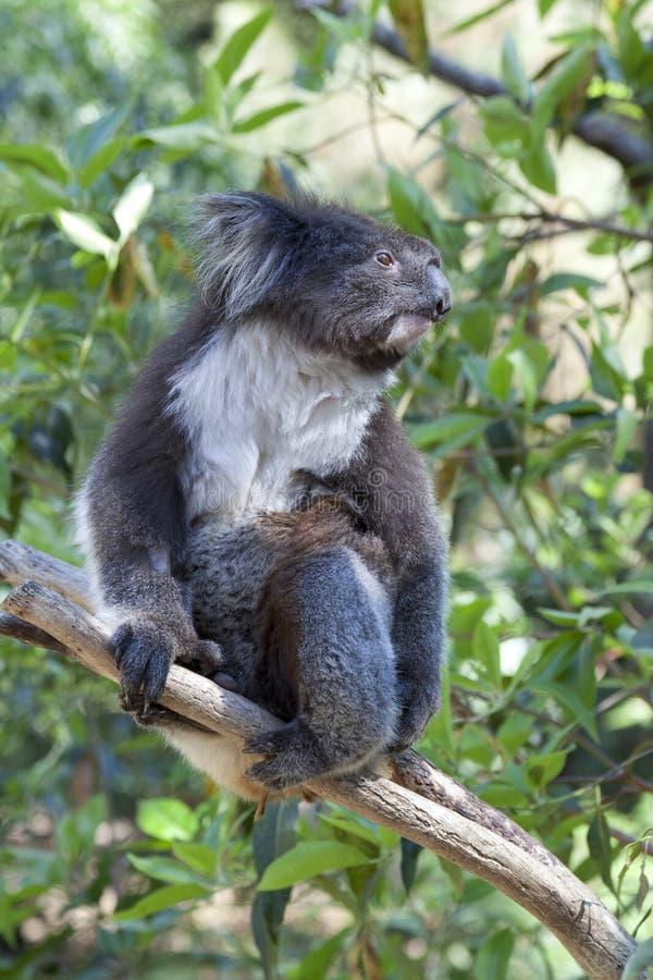 Download Koala on a tree trunk stock image. Image of koala, wild - 28715431