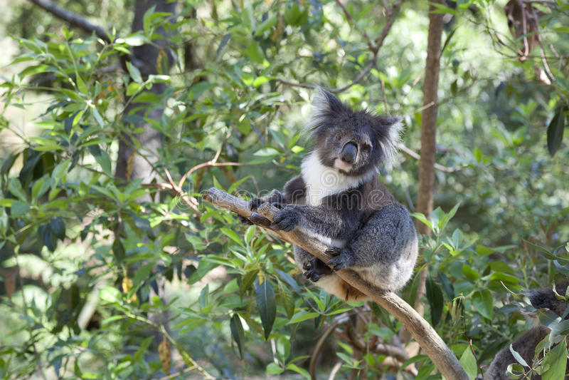 Koala On A Tree Trunk Stock Photography