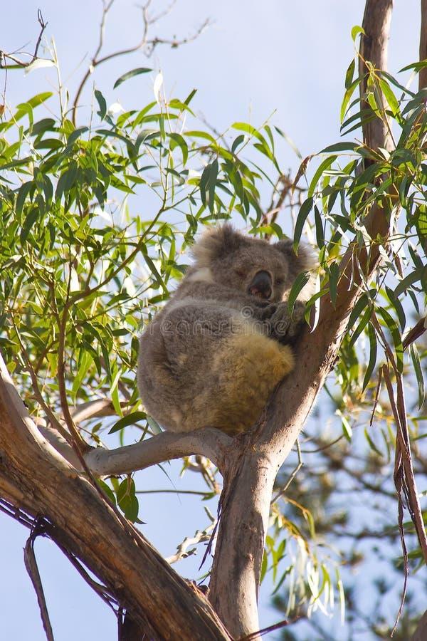 Download Koala in un albero fotografia stock. Immagine di gomma - 7315144