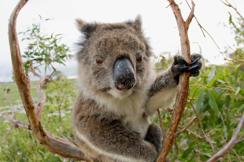 Koala in un albero di gomma Australia immagine stock
